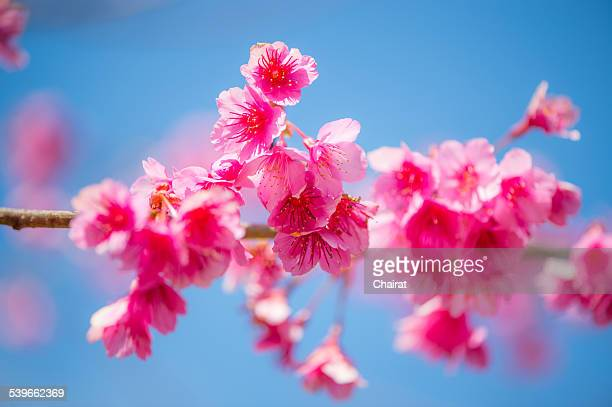 Thailand, Chiang Mai, Pink cherry blossom on branch