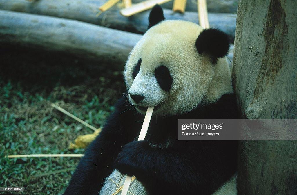 Thailand, Chiang Mai Zoo, Giant Panda