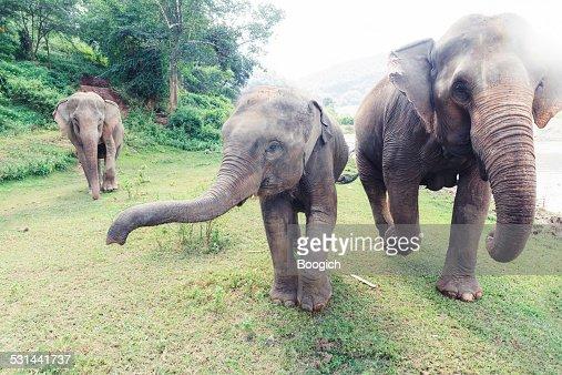 Thailand Elephants Roaming Free in Chiang Mai
