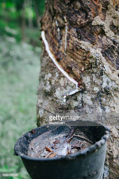 Thailand, rubber being collected from a tapped rubber tree