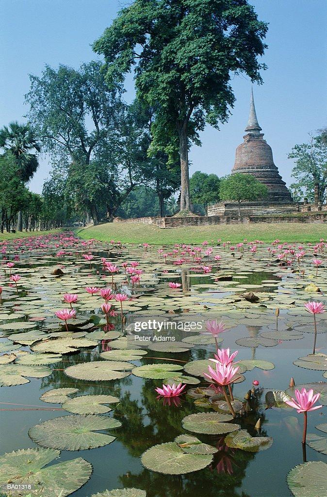Thailand, Sukhothai, lotus flowers floating on pond : Stock Photo