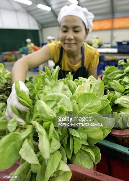 ThailandeconomyfarmorganicschedFEATURE by Sam Reeves This photo taken 10 April 2007 shows a Thai farm worker packing organic vegetables at a farm in...