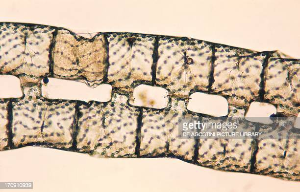 Thallus Spirogyra filamentous green algae with visible strip of ribbonshaped chloroplasts seen under a microscope