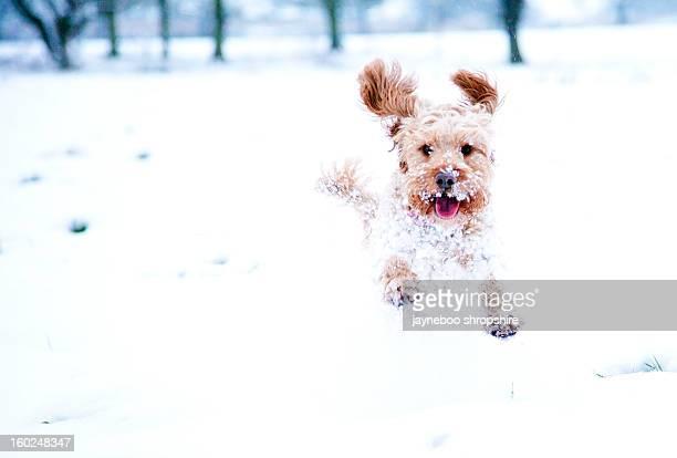 That Speeding Snowball is a Cockerpoo