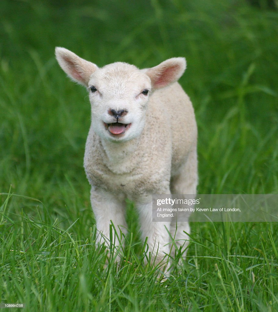 That's a BIG Noise from a Lil lamb.. : Stock Photo