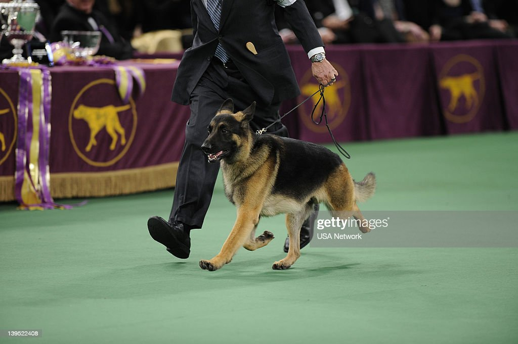 SHOW -- 'The 136th Annual Dog Show on Tuesday, February 14, 2012 in New York City' -- Pictured: Best in Show, German Shepherd --