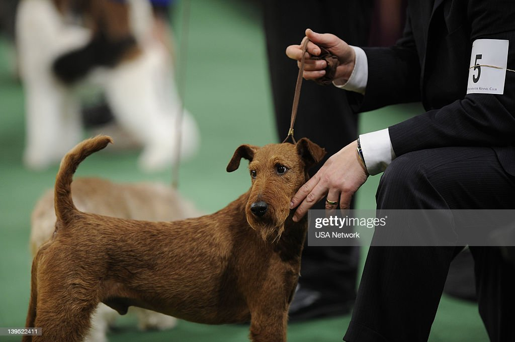 SHOW -- 'The 136th Annual Dog Show on Tuesday, February 14, 2012 in New York City' -- Pictured: Best in Show --