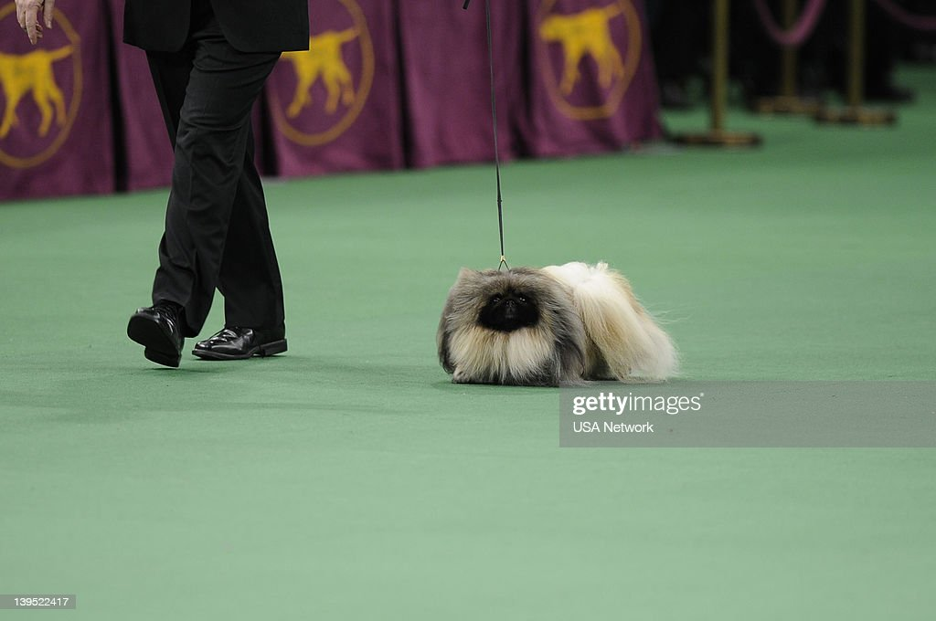 SHOW -- 'The 136th Annual Dog Show on Tuesday, February 14, 2012 in New York City' -- Pictured: Best in Show, Pekingese --