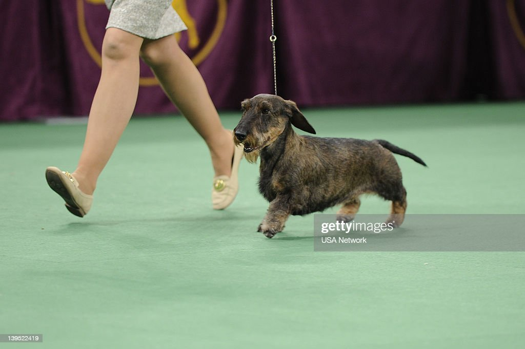 SHOW -- 'The 136th Annual Dog Show on Tuesday, February 14, 2012 in New York City' -- Pictured: best in Show, Wirehaired Dachshund --