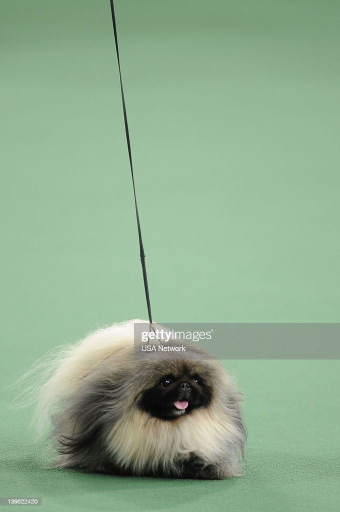 SHOW 'The 136th Annual Dog Show on Tuesday February 14 2012 in New York City' Pictured Best in Show Pekingese