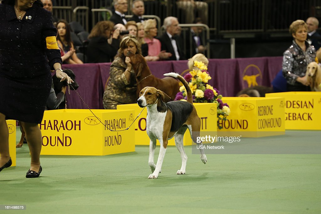 SHOW 'The 137th Annual Westminster Kennel Club Dog Show' American Foxhound at Madison Square Garden in New York City on Monday February 11 2013...