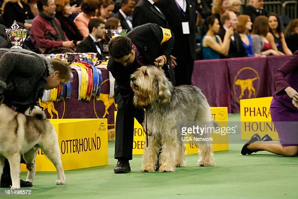 SHOW 'The 137th Annual Westminster Kennel Club Dog Show' at Madison Square Garden in New York City on Monday February 11 2013 Pictured Otterhound