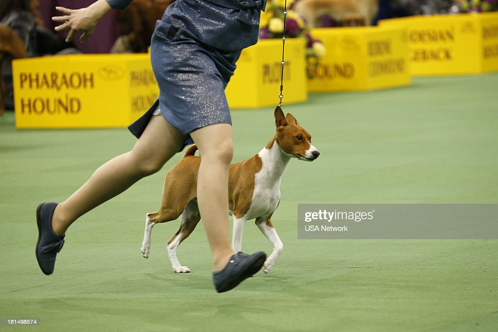 SHOW 'The 137th Annual Westminster Kennel Club Dog Show' at Madison Square Garden in New York City on Monday February 11 2013 Pictured Basenji