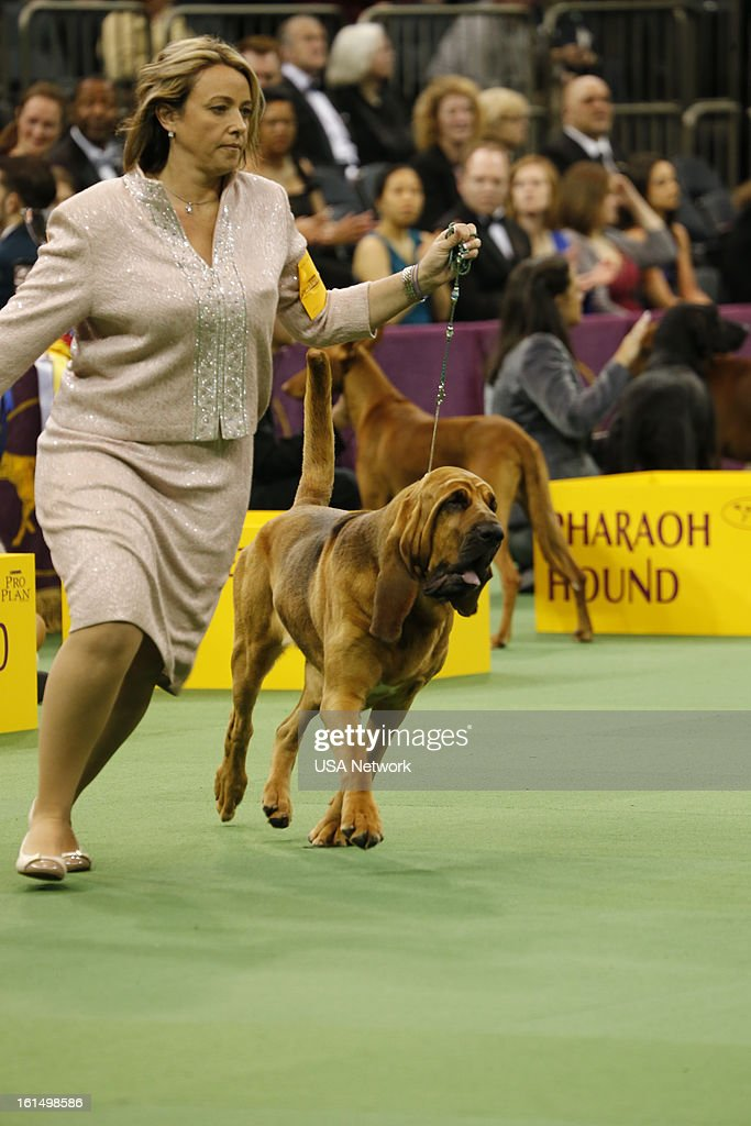SHOW 'The 137th Annual Westminster Kennel Club Dog Show' at Madison Square Garden in New York City on Monday February 11 2013 Pictured Bloodhound