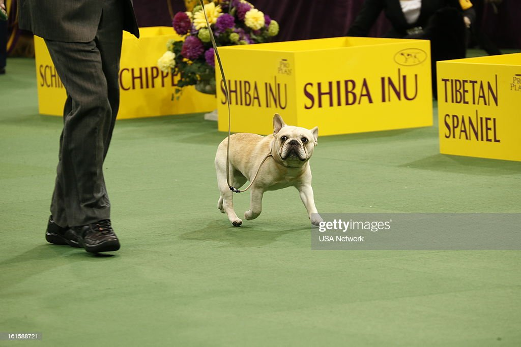 SHOW -- 'The 137th Annual Westminster Kennel Club Dog Show' at Madison Square Garden in New York City on Monday, February 11, 2013 -- Pictured: non-sporting --