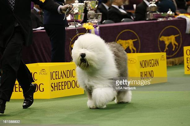 SHOW 'The 137th Annual Westminster Kennel Club Dog Show' at Madison Square Garden in New York City on Monday February 11 2013 Pictured herding group