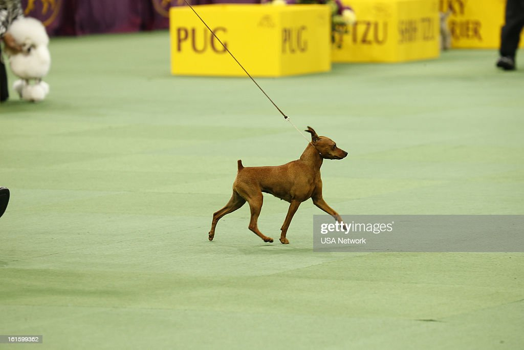 SHOW -- 'The 137th Annual Westminster Kennel Club Dog Show' at Madison Square Garden in New York City on Monday, February 11, 2013 -- Pictured: Miniature Pinscher --