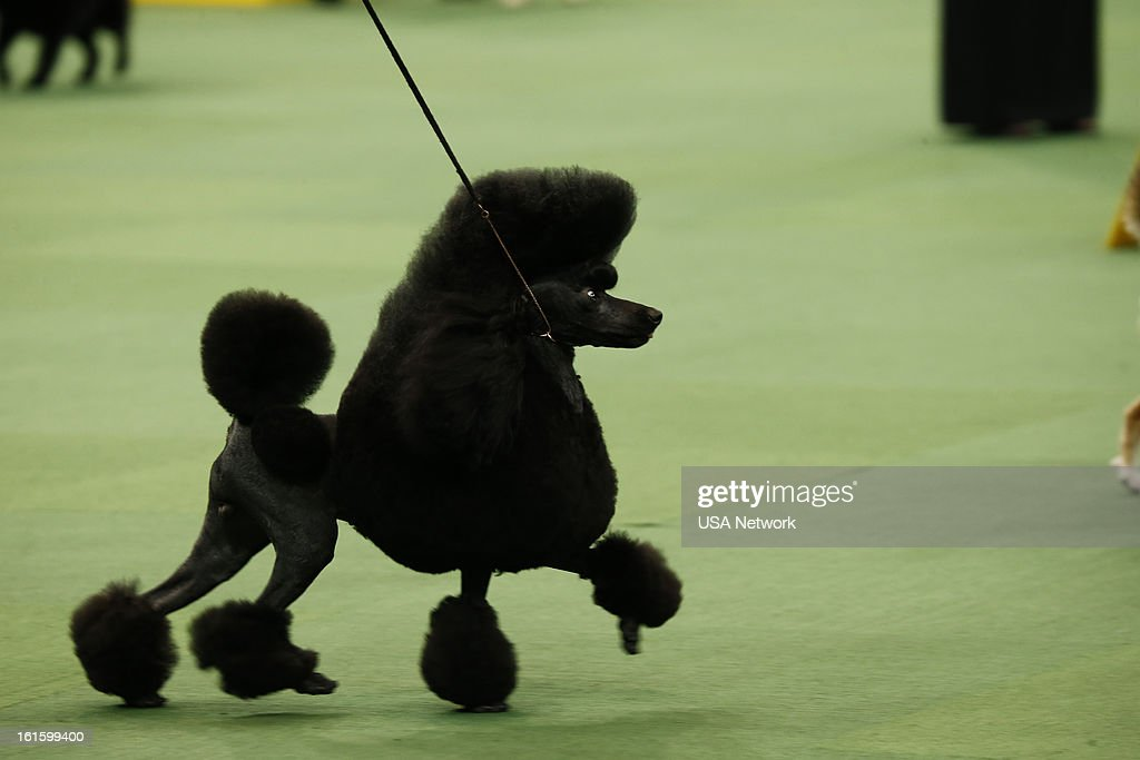 SHOW -- 'The 137th Annual Westminster Kennel Club Dog Show' at Madison Square Garden in New York City on Monday, February 11, 2013 -- Pictured: Miniature Poodle --