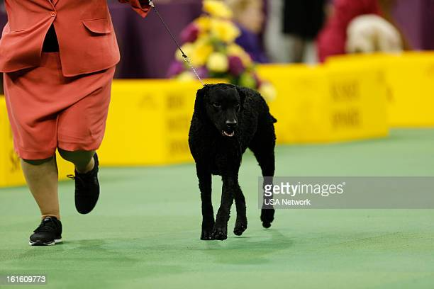 SHOW 'The 137th Annual Westminster Kennel Club Dog Show' at Madison Square Garden in New York City on Tuesday February 12 2013 Pictured Curly Coated...