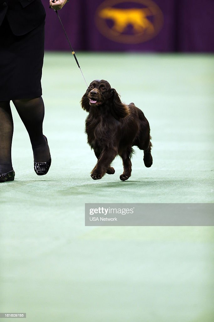 SHOW 'The 137th Annual Westminster Kennel Club Dog Show' at Madison Square Garden in New York City on Tuesday February 12 2013 Pictured Sporting...