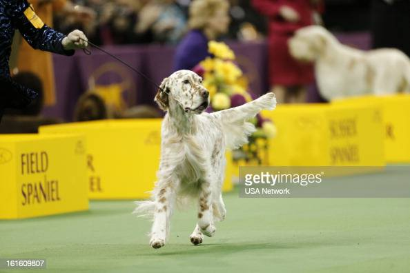 English Setters Westminster Dog Show
