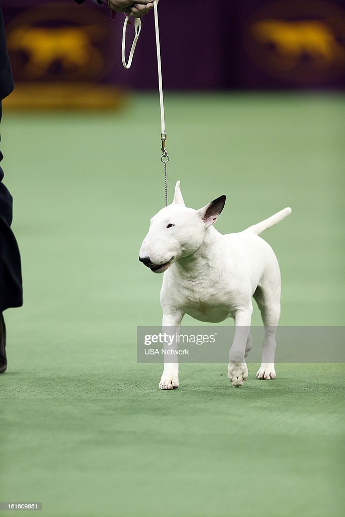 SHOW -- 'The 137th Annual Westminster Kennel Club Dog Show' at Madison Square Garden in New York City on Tuesday, February 12, 2013 -- Pictured: Terrier Group- Miniature Bull Terrier --