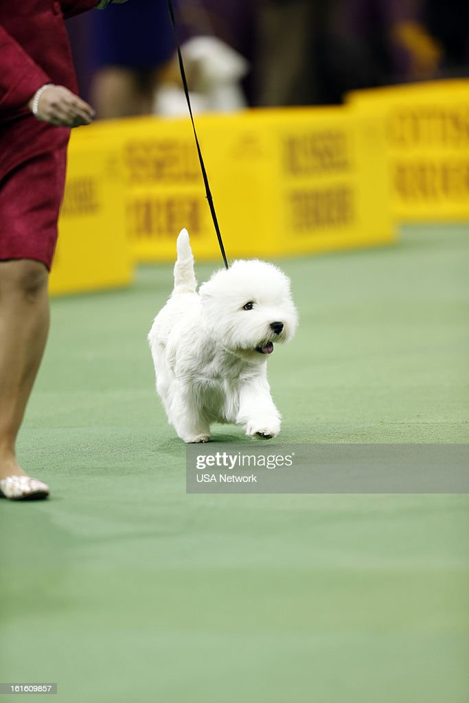 SHOW -- 'The 137th Annual Westminster Kennel Club Dog Show' at Madison Square Garden in New York City on Tuesday, February 12, 2013 -- Pictured: Terrier Group- West Highland White Terrier --