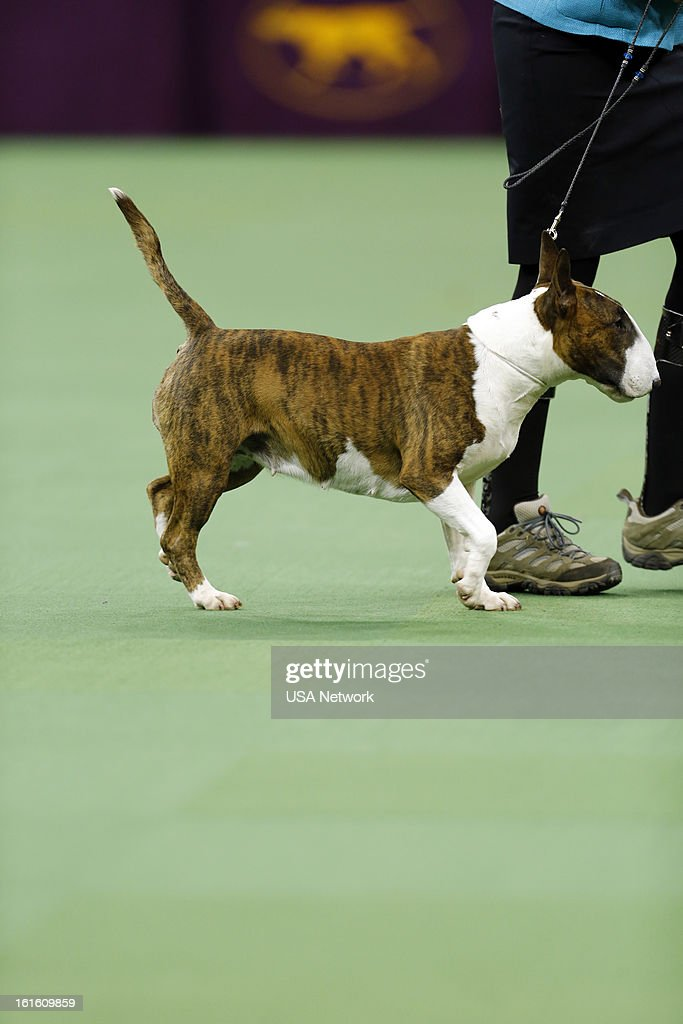 SHOW -- 'The 137th Annual Westminster Kennel Club Dog Show' at Madison Square Garden in New York City on Tuesday, February 12, 2013 -- Pictured: Terrier Group- Colored Bull Terrier --