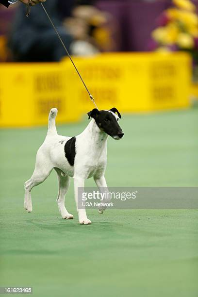SHOW 'The 137th Annual Westminster Kennel Club Dog Show' at Madison Square Garden in New York City on Monday February 11 2013 Pictured Smooth Fox...