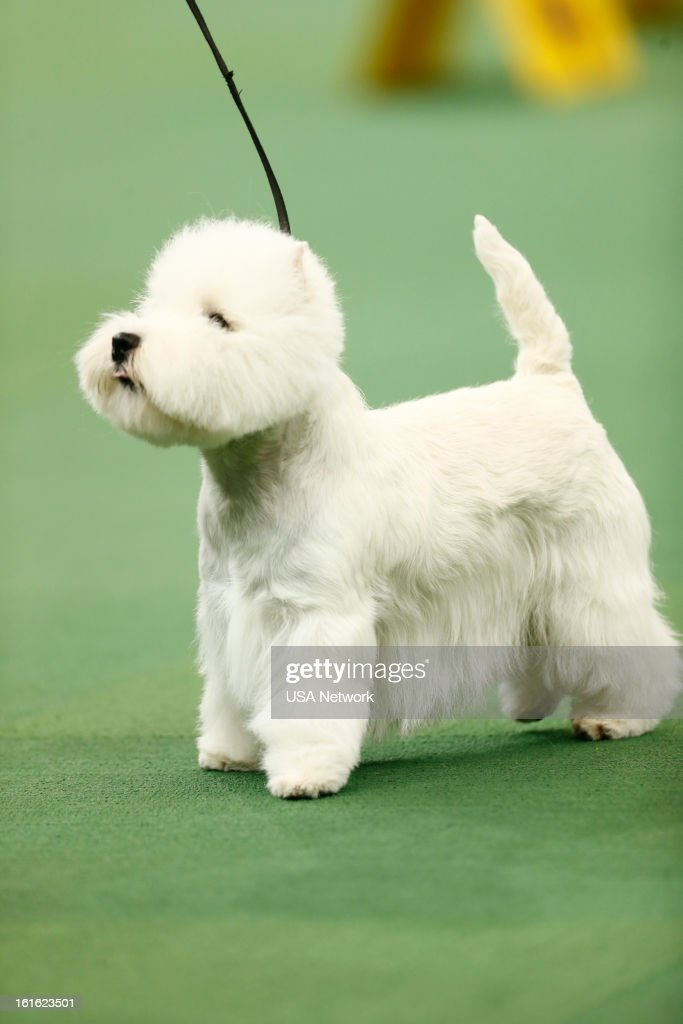 SHOW -- 'The 137th Annual Westminster Kennel Club Dog Show' at Madison Square Garden in New York City on Monday, February 11, 2013 -- Pictured: West Highland Terrier --