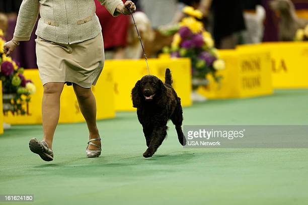 SHOW 'The 137th Annual Westminster Kennel Club Dog Show' at Madison Square Garden in New York City on Monday February 11 2013 Pictured American Water...
