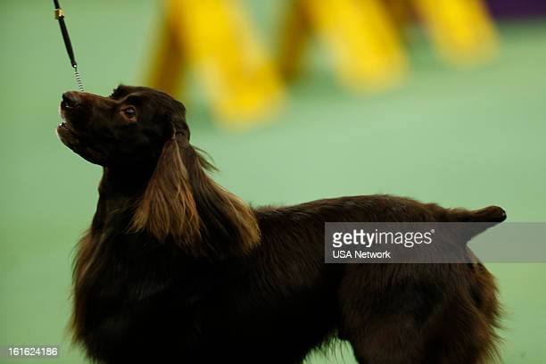 SHOW 'The 137th Annual Westminster Kennel Club Dog Show' at Madison Square Garden in New York City on Monday February 11 2013 Pictured Boykin Spaniel