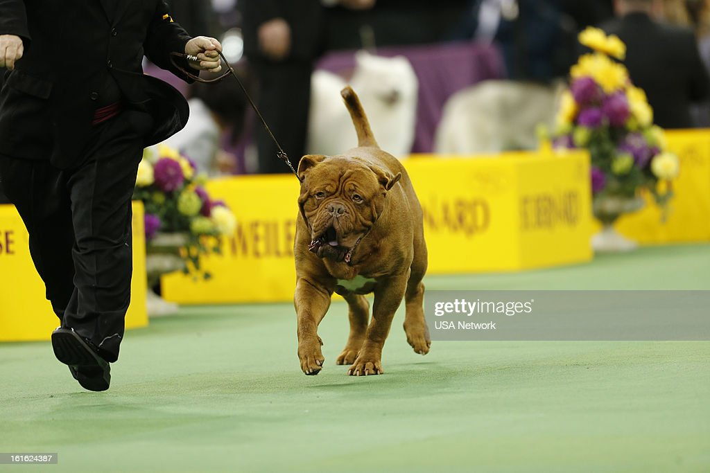 SHOW -- 'The 137th Annual Westminster Kennel Club Dog Show' at Madison Square Garden in New York City on Monday, February 11, 2013 -- Pictured: Dogue de Bordeaux --