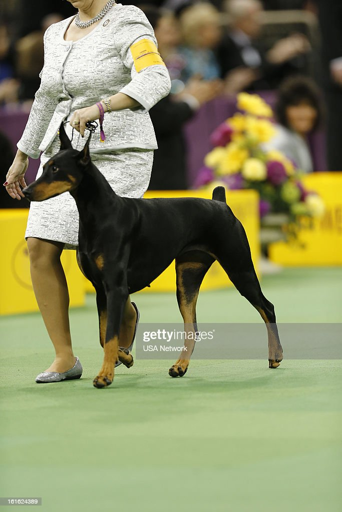 SHOW -- 'The 137th Annual Westminster Kennel Club Dog Show' at Madison Square Garden in New York City on Monday, February 11, 2013 -- Pictured: Doberman Pinscher --