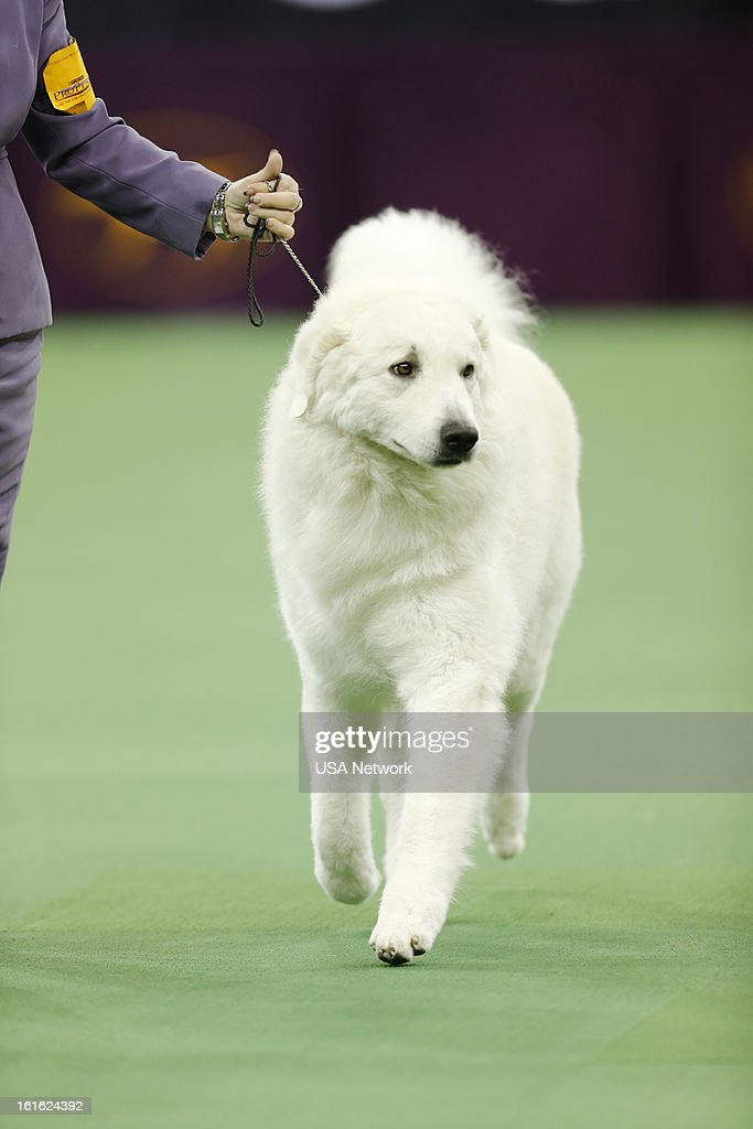 SHOW -- 'The 137th Annual Westminster Kennel Club Dog Show' at Madison Square Garden in New York City on Monday, February 11, 2013 -- Pictured: Kuvasz --