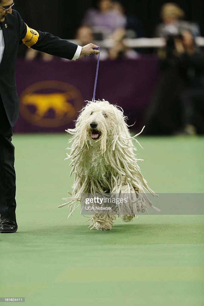 SHOW -- 'The 137th Annual Westminster Kennel Club Dog Show' at Madison Square Garden in New York City on Monday, February 11, 2013 -- Pictured: Komondor --