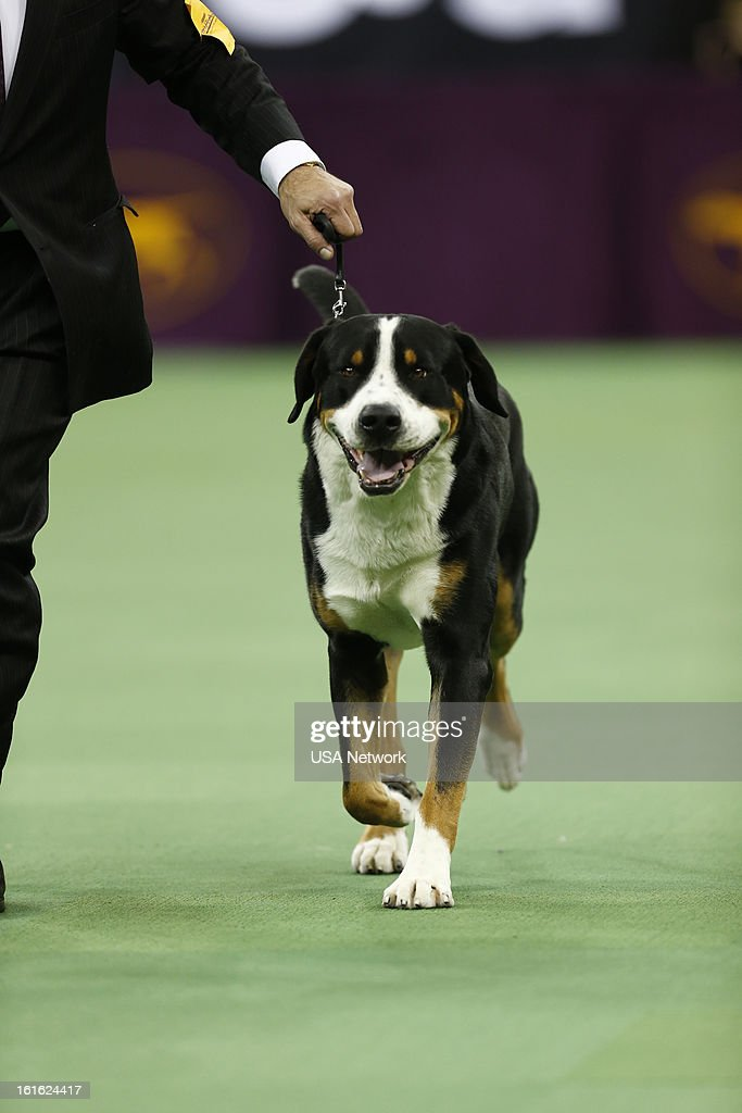 SHOW -- 'The 137th Annual Westminster Kennel Club Dog Show' at Madison Square Garden in New York City on Monday, February 11, 2013 -- Pictured: Greater Swiss Mountain Dog --