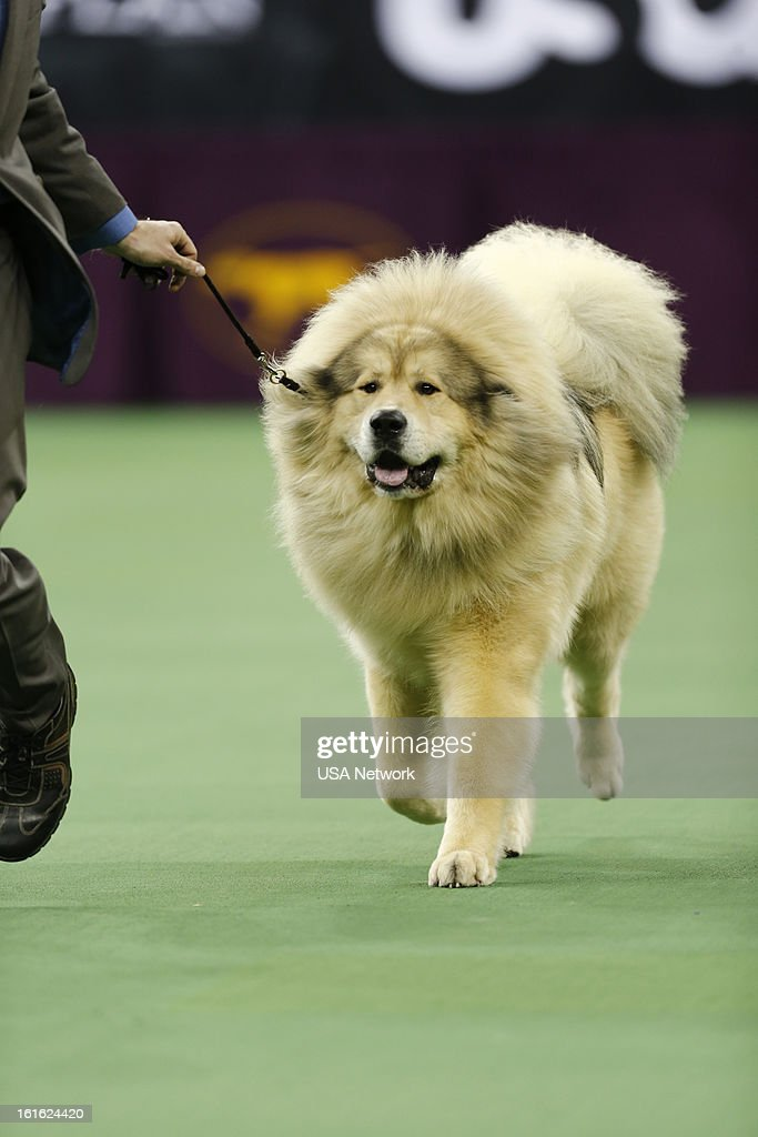 SHOW -- 'The 137th Annual Westminster Kennel Club Dog Show' at Madison Square Garden in New York City on Monday, February 11, 2013 -- Pictured: Tibetan Mastiff --