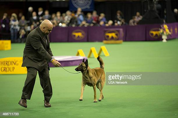 SHOW 'The 138th Annual Westminster Kennel Club Dog Show' Pictured Belgian Malinois at Madison Square Garden in New York City on Monday February 10...