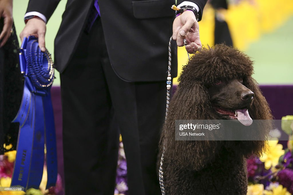 SHOW 'The 138th Annual Westminster Kennel Club Dog Show' Pictured Best In Group Irish Water Spaniel at Madison Square Garden in New York City on...