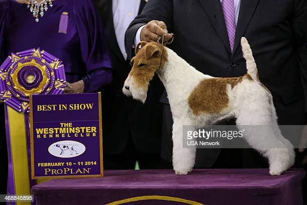 SHOW 'The 138th Annual Westminster Kennel Club Dog Show' Pictured Best In Show winner Afterall Painting The Sky the Wire Fox Terrier at Madison...