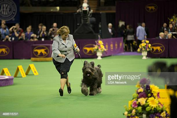 SHOW 'The 138th Annual Westminster Kennel Club Dog Show' Pictured Briard at Madison Square Garden in New York City on Monday February 10 2014