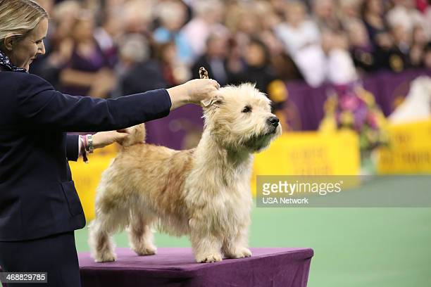 SHOW 'The 138th Annual Westminster Kennel Club Dog Show' Pictured Glen of Imaal Terrier at Madison Square Garden in New York City on Monday February...