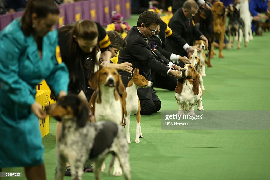 SHOW 'The 138th Annual Westminster Kennel Club Dog Show' Pictured Hound line up at Madison Square Garden in New York City on Monday February 10 2014