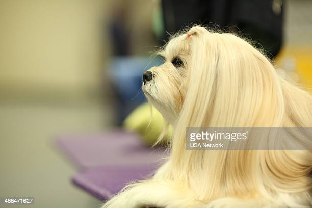 SHOW 'The 138th Annual Westminster Kennel Club Dog Show' Pictured Maltese backstage at Madison Square Garden in New York City on Monday February 10...