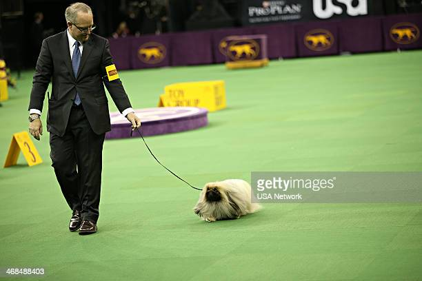 SHOW 'The 138th Annual Westminster Kennel Club Dog Show' Pictured Pekingese at Madison Square Garden in New York City on Monday February 10 2014
