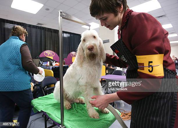 SHOW 'The 138th Annual Westminster Kennel Club Dog Show' Pictured Spinone Italiano backstage at Madison Square Garden in New York City on Monday...