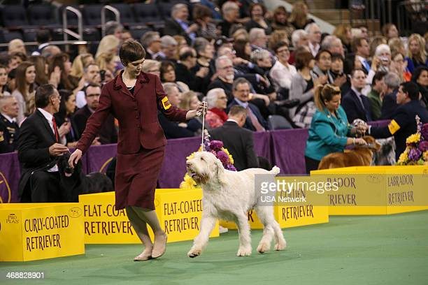 SHOW 'The 138th Annual Westminster Kennel Club Dog Show' Pictured Spinone Italiano at Madison Square Garden in New York City on Monday February 11...
