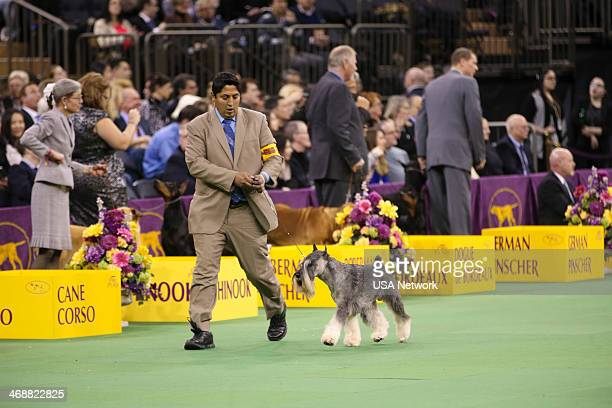 SHOW 'The 138th Annual Westminster Kennel Club Dog Show' Pictured Standard Schnauzer at Madison Square Garden in New York City on Monday February 11...