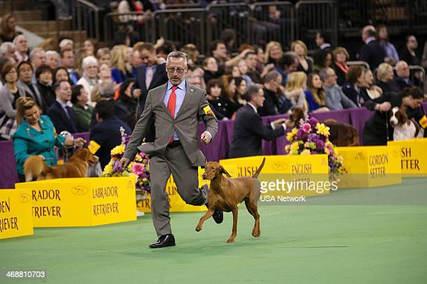 SHOW 'The 138th Annual Westminster Kennel Club Dog Show' Pictured Vizsla at Madison Square Garden in New York City on Monday February 11 2014